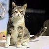 100px-American_Wirehair_-_CFF_cat_show_Heinola_2008-05-04_IMG_8721
