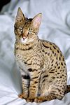 100px-Savannah_Cat_portrait