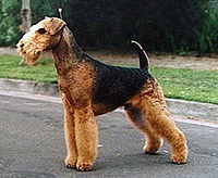 200px-Airedale_Terrier
