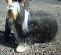 200px-Bearded_Collie_600