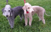 200px-Bedlington_Terriers