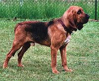 200px-Bloodhound_800