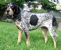 200px-BluetickCoonhound