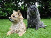 200px-Cairn-Terrier-Garten1