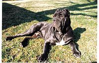 200px-Cannon_-_Male_Neapolitan_Mastiff_1998