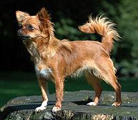 200px-Chihuahua1_bvdb