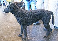 200px-Curly_Coated_Retriever