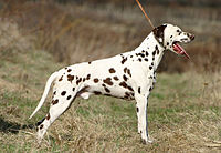 200px-Dalmatian_liver_stacked