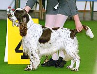 200px-English-Springer-Spaniel_show
