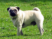 200px-Fawn_pug_2.5year-old