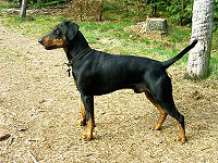 200px-German_Pinscher