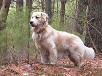 200px-Golden_Retriever_standing_Tucker