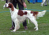 200px-Irish_Red_And_White_Setter_2005