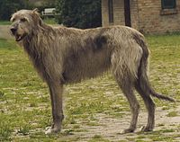 200px-Irish_Wolfhound_Sam