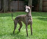 200px-Italian_Greyhound_standing_gray