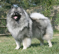 200px-Keeshond_Majic_standing_cropped