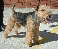 200px-Lakeland_Terrier