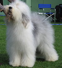 200px-Old_english_sheepdog_Ch_Bobbyclown's_Dare_for_More