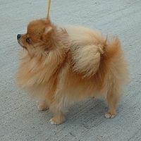 200px-Pomeranian_600