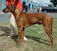 200px-Rhodesian_Ridgeback_600