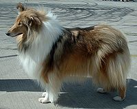 200px-Rough_Collie_600