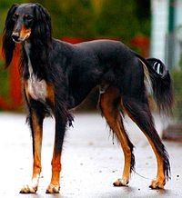200px-Saluki_dog_breed