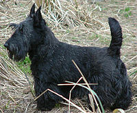 200px-ScottishTerrier