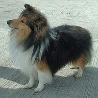 200px-Shetland_Sheepdog_600
