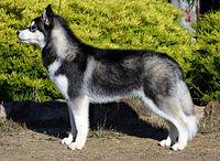 200px-Siberian-husky