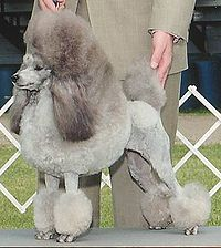 200px-Silver_Miniature_Poodle_stacked