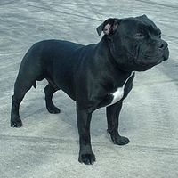 200px-Staffordshire_Bull_Terrier_600