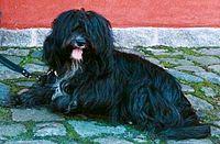 200px-Tibetan-terrier-Blue-Blossom-Guldborg-Denmarkjpg