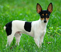200px-Toy_Fox_Terrier_2