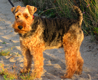 200px-Welch_Terrier_on_sand_-_2007