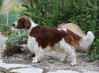 200px-Welsh_Springer_Spaniel_1