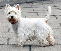 200px-West_Highland_White_Terrier_Krakow