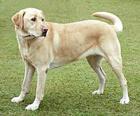 200px-YellowLabradorLooking_new