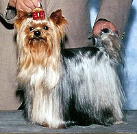 200px-Yorkshire_Terrier_WA_Mozart_Dolce_Sinfonia