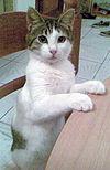 Aegean_cat