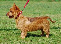 Australian_Terrier_002_U