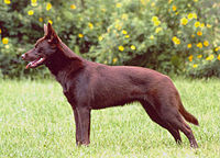 Hilu_the_Australian_Kelpie_dog