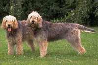 Two_otterhounds