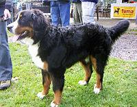 bernmountdog