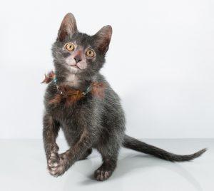 lykoi-kitten-black