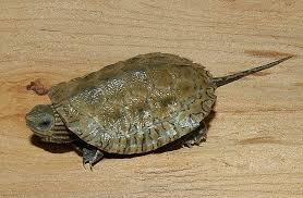 Caspian Pond Turtle