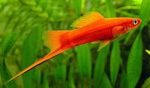 sworttail platy